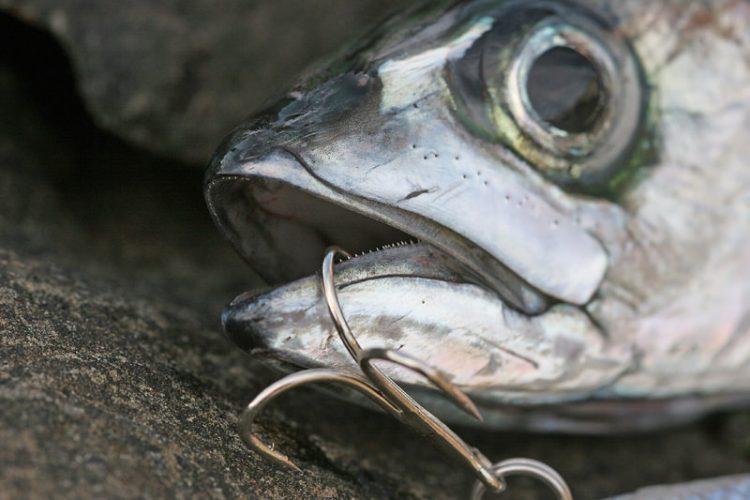 a mackerel
