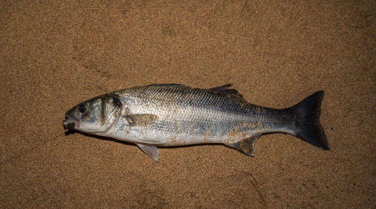 Shore caught bass