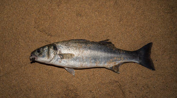 shore bass