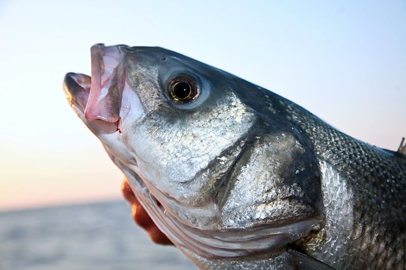 Bass plugging basics planet sea fishing for Bass fishing from shore