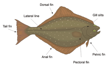 flatfish identifying features