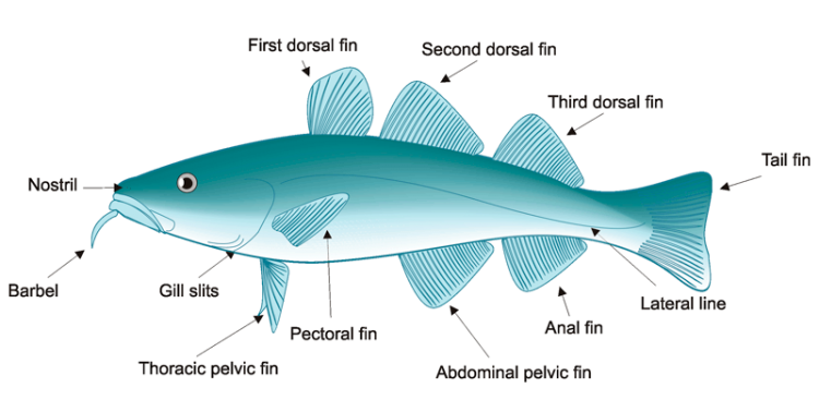 round fish identifying features