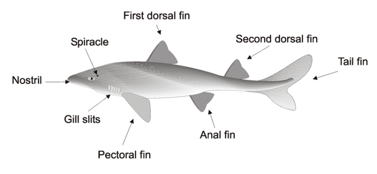 shark identifying features
