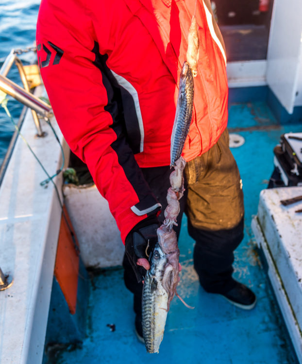 A large mackerel and squid bait