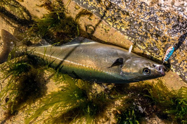 Coalfish on a lure