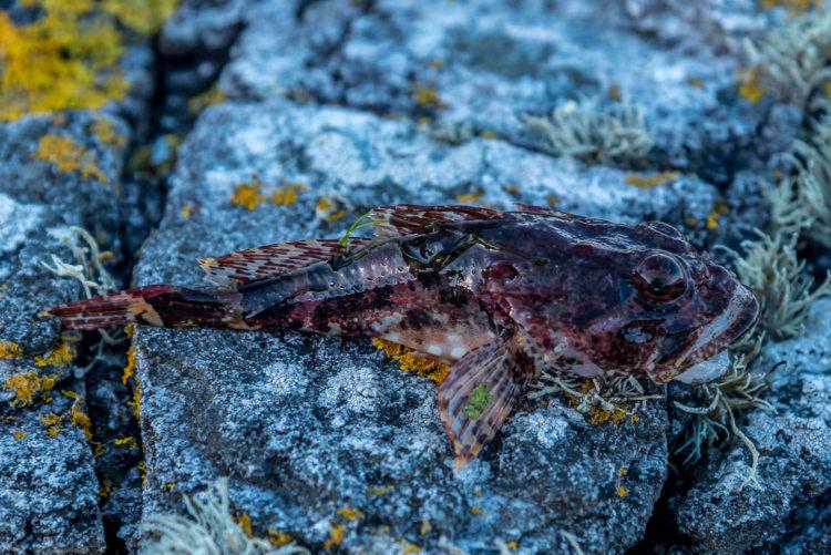 Researching A New Shore Mark sea scorpion